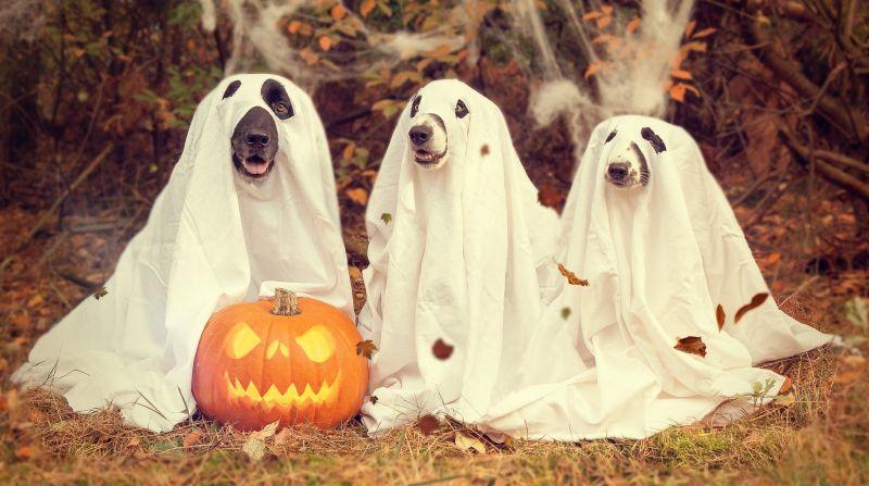 psy przebrane na duszki na halloween